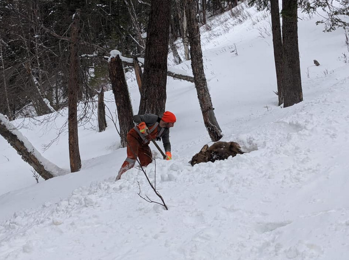 An Elk survived and avalanche thanks to a rescue.